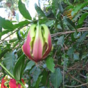 Location: Southwest FloridaDate: March 2012This is a bud just about to open.