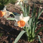 Location: My garden in southeast NebraskaDate: 2012-03-25