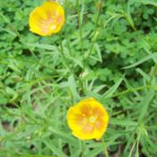 Location: Medina Co., TexasDate: March 28, 2012Yellow Flax