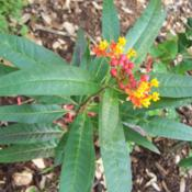 Location: Medina Co., TexasDate: March 29, 2012Mexican Milkweed