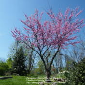 Location: My garden in KentuckyDate: 2012-03-27