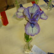 Location: At a Utah Iris Society ShowDate: 2011-05-21