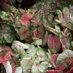 Thumb of 2012-03-29/caladiums4less/e5851e