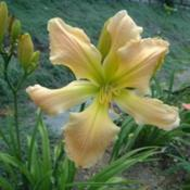 Date: 2001-07-24Photo Courtesy of Nova Scotia Daylilies Used with Permi