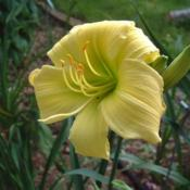 Date: 2005-07-24Photo Courtesy of Nova Scotia Daylilies Used with Permi