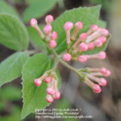 Location: My Northeastern Indiana Gardens - Zone 5bDate: 2012-03-29Bloom buds
