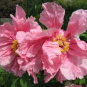 Location: Illinois zone 6Date: 2008-05-10Tree peony