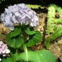 A Tip for Hydrangeas