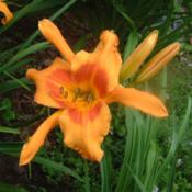 Date: 2006-07-28Photo Courtesy of Nova Scotia Daylilies Used with Permi