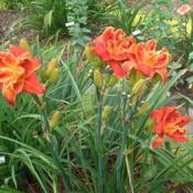 Date: 2004-07-02Photo Courtesy of Nova Scotia Daylilies Used with Permi