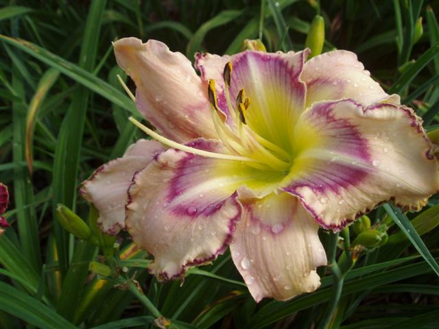 Photo of Daylily (Hemerocallis 'Handwriting on the Wall') uploaded by vic