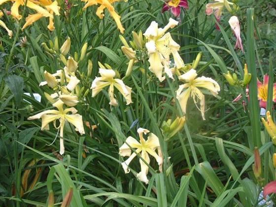 Photo of Daylily (Hemerocallis 'Heavenly Curls') uploaded by vic
