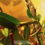Location: At home indoors - Central Valley area, CADate: 2012-03-30Noid dendrobium has formed keiki on its cane