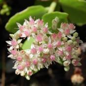 Location: Pacific Northwest, zone 8Date: Oct 19, 2010Unknown sedum