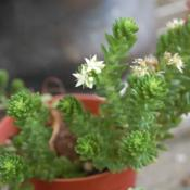 Location: Pacific Northwest, zone 8Date: Oct 8, 2011Unknown sedum