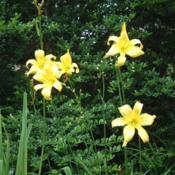 Date: 2006-07-13Photo Courtesy of Nova Scotia Daylilies Used with Permi