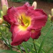 Date: 2006-08-02Photo Courtesy of Nova Scotia Daylilies Used with Permission