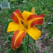 Date: 2011-07-19Photo Courtesy of Nova Scotia Daylilies Used with Permission