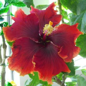Courtesy Hidden Valley Hibiscus, used with permission
