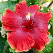 Date: 2010-01-30Courtesy Hidden Valley Hibiscus, used with permission