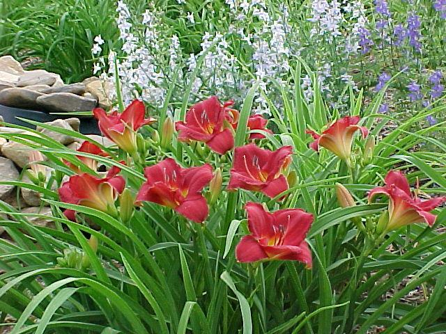 Photo of Daylily (Hemerocallis 'Charles Johnston') uploaded by Calif_Sue