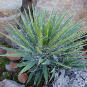 Location: In a friends garden, Pleasant Grove, UtahDate: 2012-04-02Yucca filamentosa
