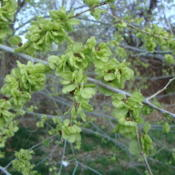 Location: Pleasant Grove, utahDate: 2012-04-02Thjis is a very weedy, undesirable tree in my area.  The seeds bl