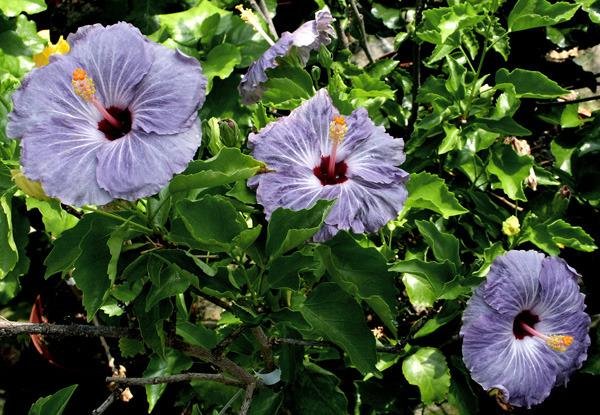 Photo Of The Bloom Of Tropical Hibiscus Hibiscus Rosa Sinensis