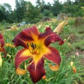 Date: 2010-07-11Photo Courtesy of Nova Scotia Daylilies Used with Permission