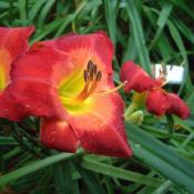 Date: 2006-07-16Photo Courtesy of Nova Scotia Daylilies Used with Permi