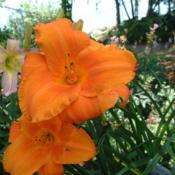 Date: 2004-08-11Photo Courtesy of Nova Scotia Daylilies Used with Permi