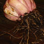 Location: In my garden in Kalama, Wa.Date: 2008-11-016 year old bulb. This was huge! Wish I'd shot it with a