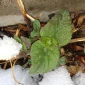 Location: Denver Metro, CODate: 2012-04-04Closeup of brand new leaves popping up through the snow.  This is