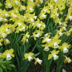 Highly Scented 2 litre pot Narcissus//Daffodil /'Sir Winston Churchill/'