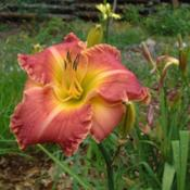 Date: 2009-08-23Photo Courtesy of Nova Scotia Daylilies Used with Permi