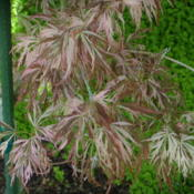 Location: My sister's garden in Bakersfield, CADate: March 31, 2012Early spring foliage - Pink and brown showing up