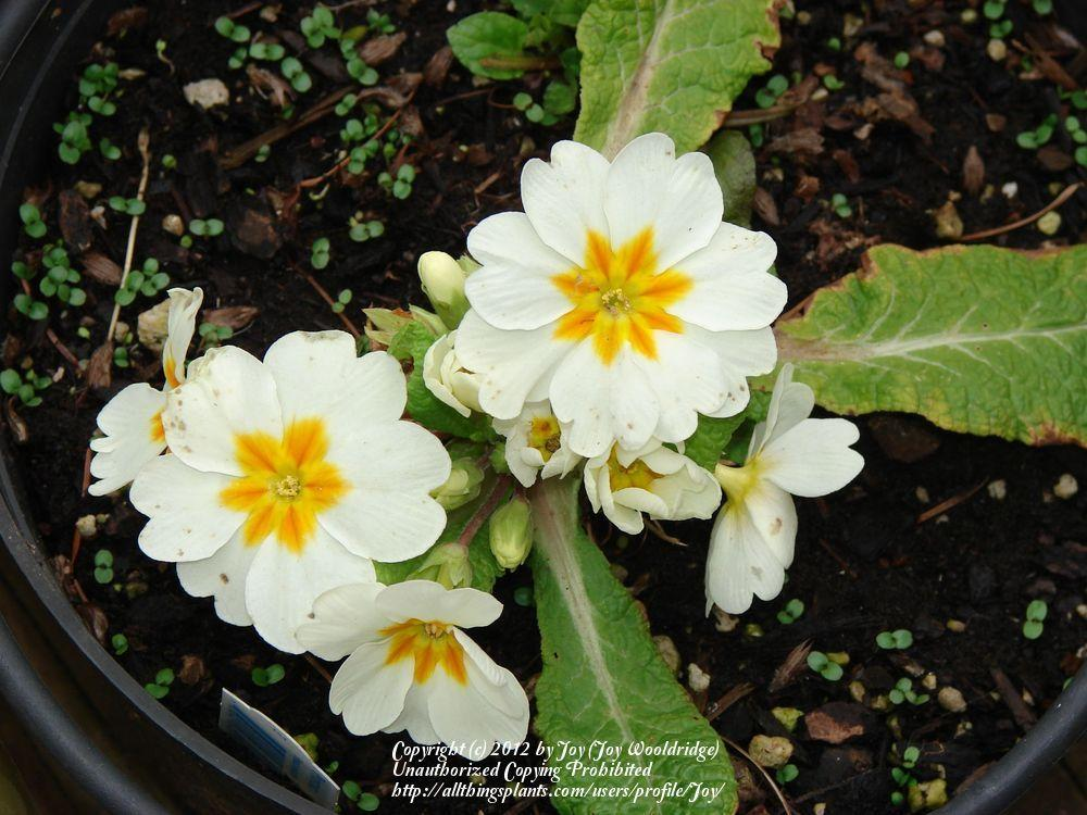 Photo of Primroses (Primula) uploaded by Joy