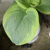 Location: Middle TennesseeDate: 2012-04-05Large variegated and textured leaves on this plant