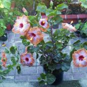 Date: 2007-12-29Courtesy Hidden Valley Hibiscus, used with permission