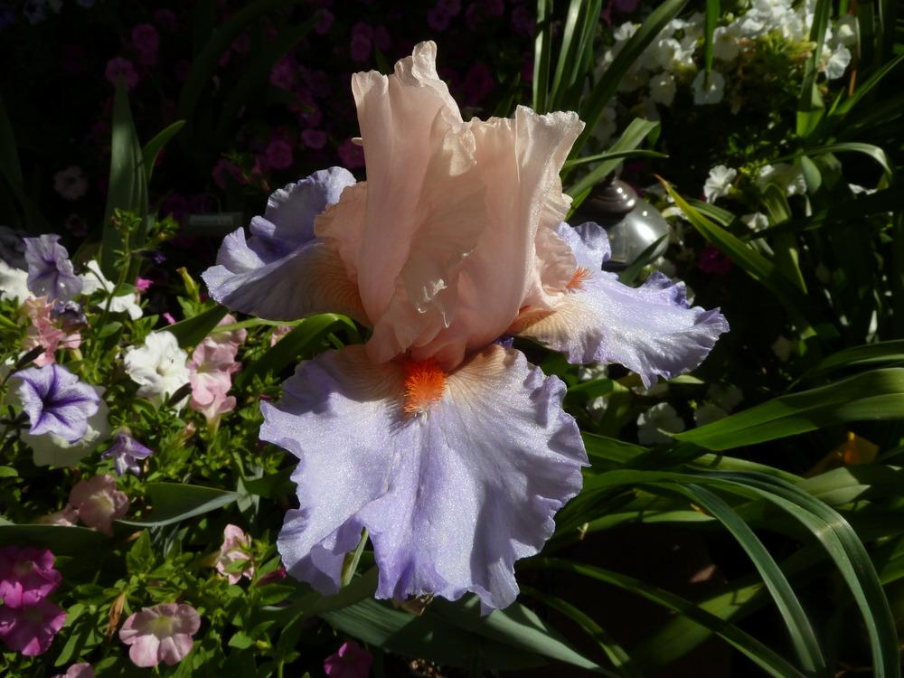 Photo of Tall Bearded Iris (Iris 'French Cancan') uploaded by lyle627