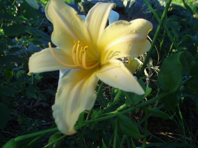 Photo of Daylily (Hemerocallis 'Multnomah') uploaded by vic
