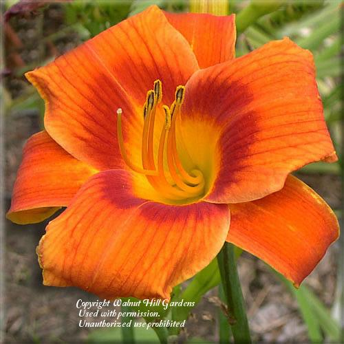 Photo of Daylily (Hemerocallis 'Holiday Delight') uploaded by vic