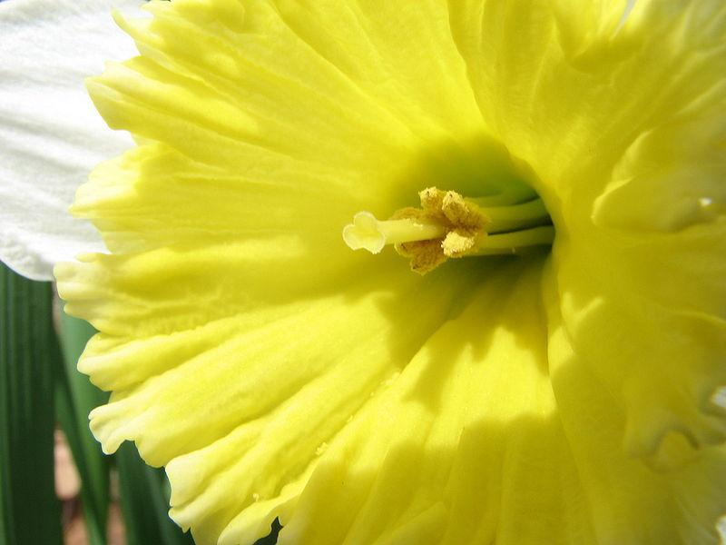 Photo of Daffodils (Narcissus) uploaded by sandnsea2