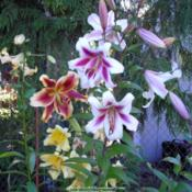 Location: Willamette Valley OregonDate: July 2007Group of lilies in my garden.