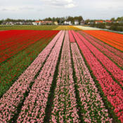 Location: Netherlands Tulip cultivationphoto by: Alessandro Vecchi