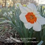 Location: critter's yardenDate: 2012-03-20Really striking contrast between the intensely orange c