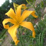 Date: 2005-07-23Photo Courtesy of Nova Scotia Daylilies Used with Permi