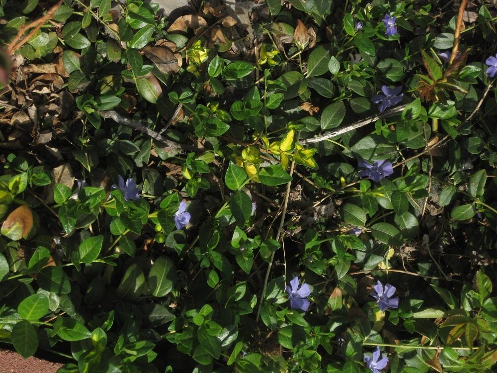 Photo of Vinca minor 'Blue and Gold' uploaded by Skiekitty