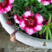 Location: Garland (Dallas), TXDate: 4-9-12This 'flavor' of Dianthus has lived in the pot for thre