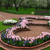 Hyacinths in a Moscow park. Photo by:Kor!An